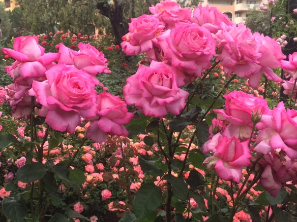 Photo by Stephanie ...European rose garden