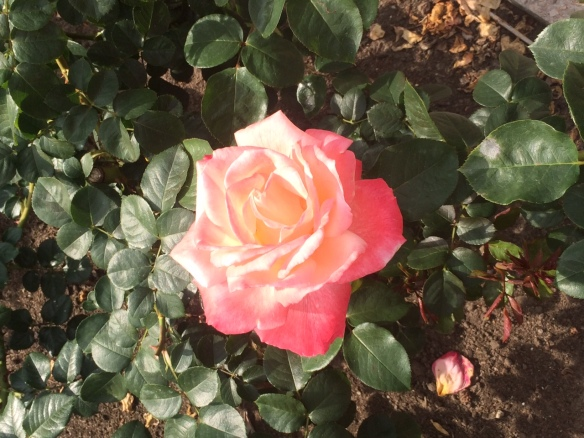 Photographed by Stephanie at a rose garden in Europe